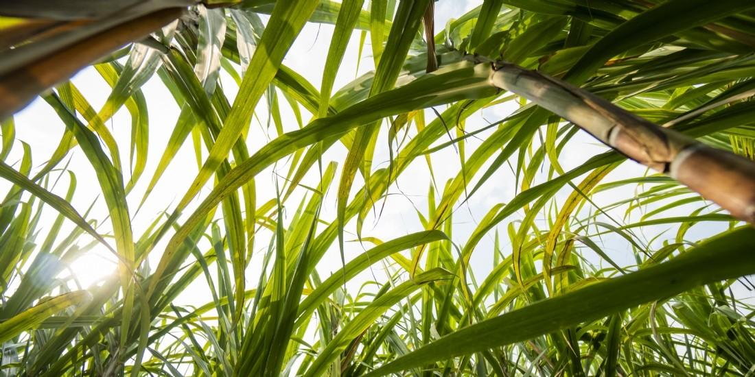 Carrefour lance la première filière réunionnaise de sucre de canne bio