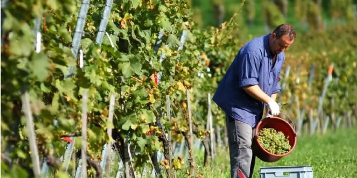 Le nombre de vignerons expéditeurs a reculé de 33 % en 20 ans, pour atteindre 3 995 en 2019. Shutterstock