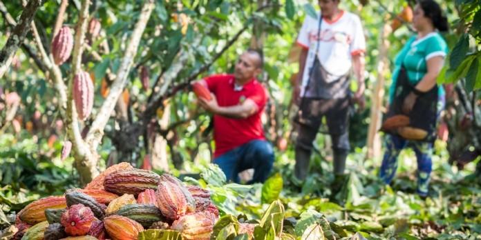 Covid-19 : Max Havelaar aide les producteurs de cacao